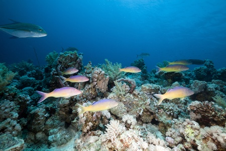 Goatfish and trevally the Red Sea. photo