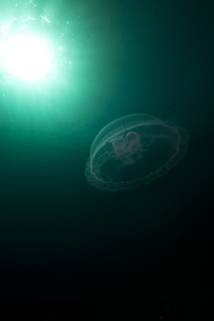 Moon jellyfish and sun in the Red Sea. photo