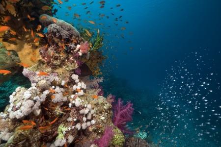 mar: Arrecife de coral y peces de arrecife en el mar rojo. Foto de archivo
