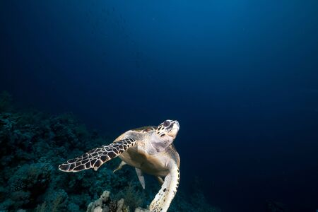 sun from underwater: Hawksbill turtle in the Red Sea.