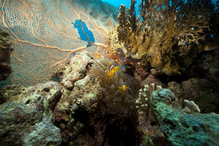 Seafan and anemone in the Red Sea. Stock Photo - 9300276
