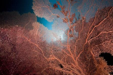 sea fan: Sea fan and coral reef in the Red Sea.