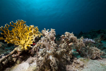 under surface: Net fire coral and fish in the Red Sea. Stock Photo