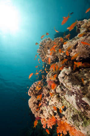 anthias: Anthias and coral reef in the Red Sea. Stock Photo