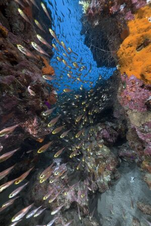 underwater scene: Golden sweepers and coral reef in the Red Sea. Stock Photo