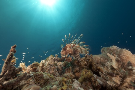 Lionfish and coral in the Red Sea. photo