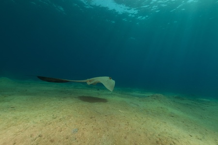 fantail: Fantail stingray in the Red Sea. Stock Photo