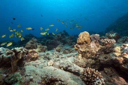 Crocodilefish in the Red Sea. Stock Photo - 10908061