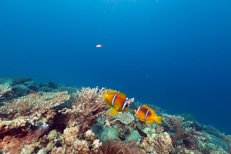 Anemonefish and anemone in the Red Sea.