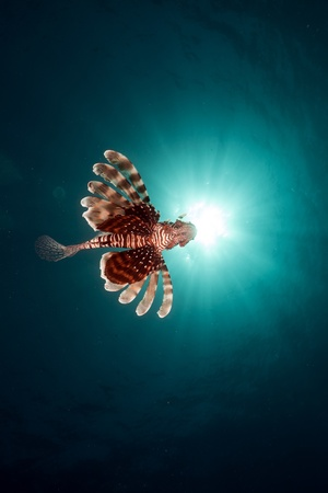 colorful water surface: Lionfish in the Red Sea.