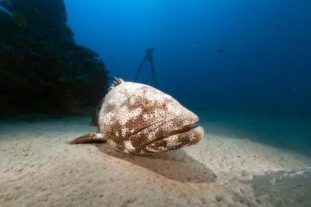 softcoral: Malabar grouper in the Red Sea.
