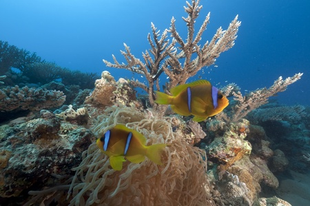 Anemonefish and anemone in the Red Sea. photo