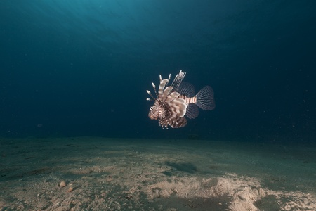softcoral: Lionfish in the Red Sea.