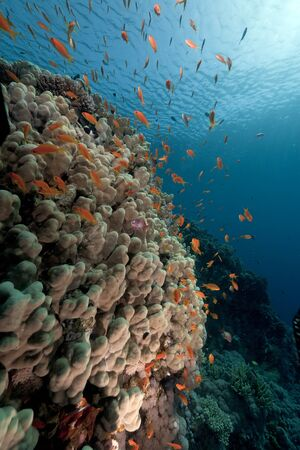 softcoral: Anthias over a porite in the Red Sea.