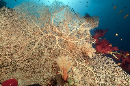 softcoral: Sea fan and tropical underwater life in the Red Sea. Stock Photo