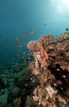 softcoral: Tropical underwater life in the Red Sea. Stock Photo