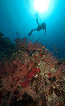 softcoral: Tropical underwater life and diver in the Red Sea. Stock Photo
