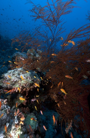 softcoral: Branching black coral in the Red Sea.