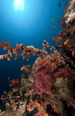 branching coral: Longnose hawkfish in a branching black coral.