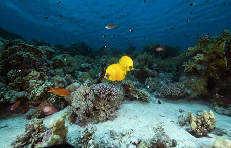 softcoral: Masked butterflyfish in the Red Sea. Stock Photo