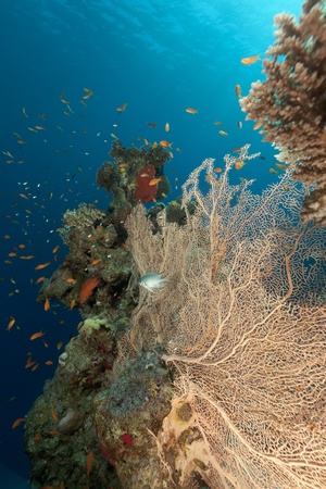 sea fan: Sea fan and tropical reef in the Red Sea. Stock Photo