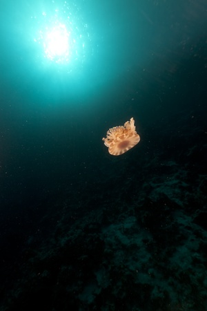 Cauliflower jellyfish in the Red Sea. photo