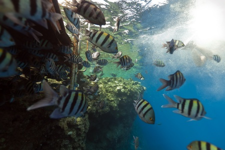 Sergeants in the Red Sea. Stock Photo - 11451835