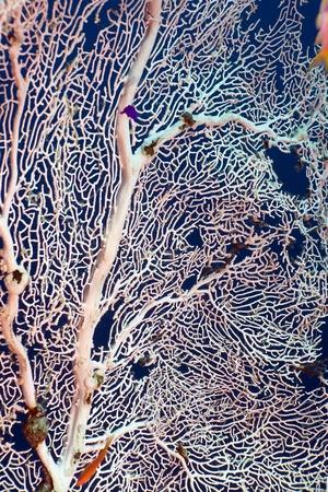 Sea fan in the Red Sea. Stock fotó