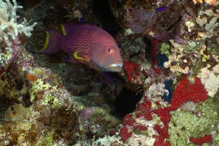 lyretail: Lyretail grouper in the Red Sea.