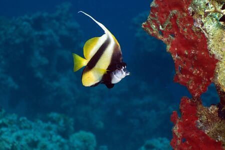 Bannerfish in the Red Sea. photo
