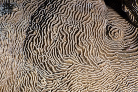 Close up of the texture and paterns of castle coral (pachyseris speciosa). Red Sea, Egypt.  photo