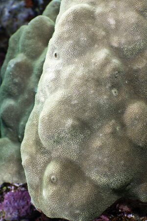 Close-up of a plesiastrea versipora in the Red Sea. photo