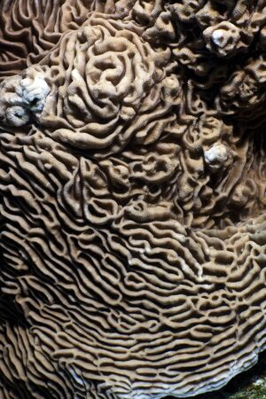 Close up of the texture and paterns of castle coral (pachyseris speciosa). Red Sea, Egypt.  Stock Photo - 11451728
