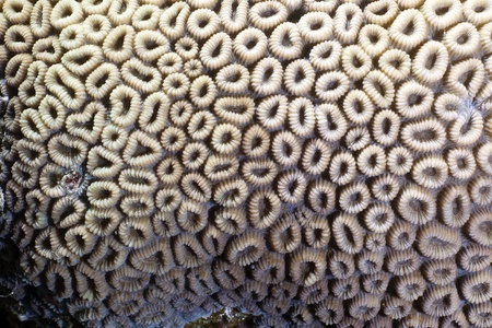 Close-up of a honeycomb coral in the Red Sea. photo