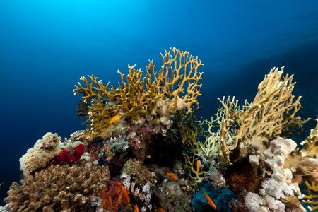 underwater scene: Red Sea coral reef and fish. Stock Photo
