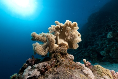 leathery: Leathery soft coral in the Red Sea. Stock Photo