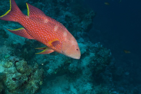 lyretail: Lyretail grouper in the Red Sea