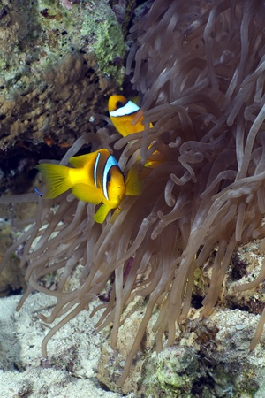 Anemonefish and magnificent anemonein the Red Sea photo