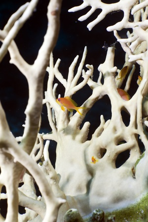 anthias: Net fire coral and Anthias in the Red Sea Stock Photo