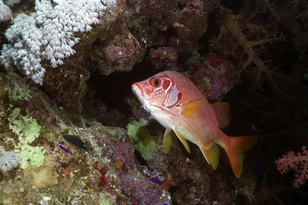 Longjawed squirrelfish in the Red Sea photo