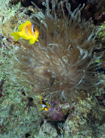 Anemonefish and magnificent anemone in the Red Sea. photo
