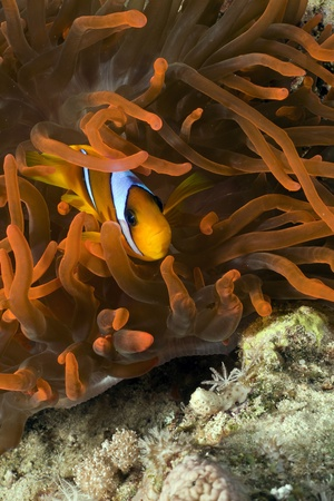 Magnificent red anemone and anemonefish photo