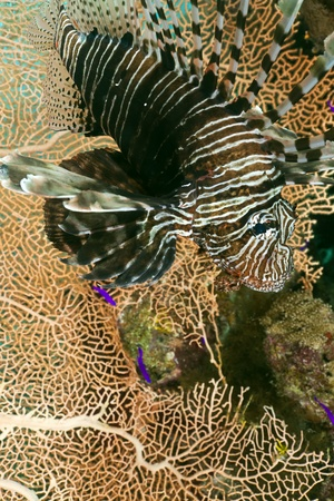 Lionfish in the Red Sea photo