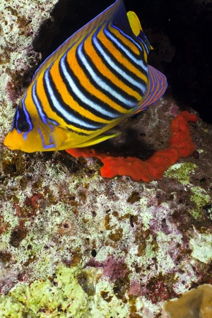 Regal angelfish in the Red Sea photo