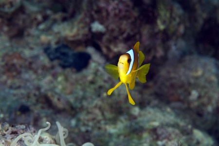 Anemonefish in the Red Sea photo