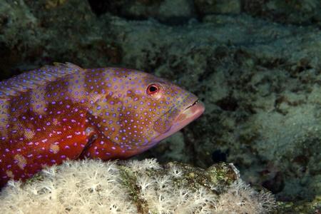 coralgrouper: Coralgrouper in the Red Sea