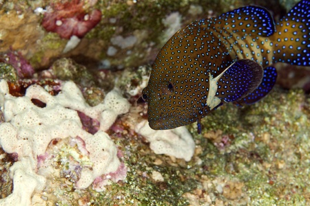 Peacock grouper in the Red Sea photo