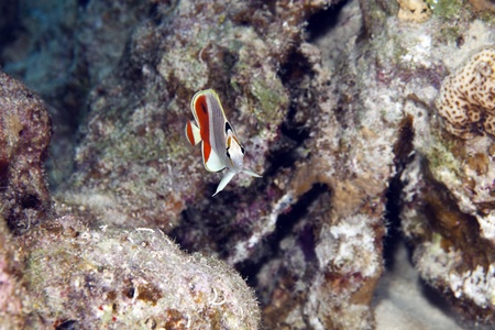 Crown butterflyfish in the Red Sea photo