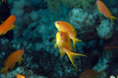 anthias fish: Oman anthias in the Red Sea