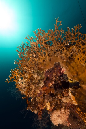 Fire coral in the Red Sea photo